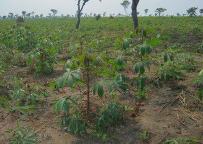 Agroforesterie - plantation d'acacias et de manioc. Bientôt les arbres seront très grands ©LesAteliersPIXEL