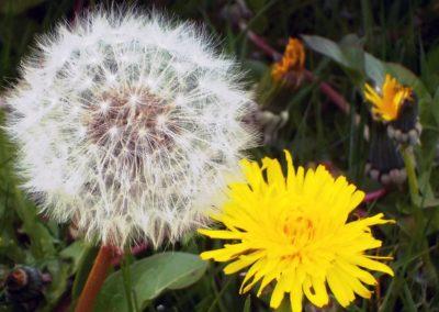 Le Pissenlit - Fleurs et graines ©LesAteliersPIXEL