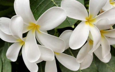 Fleur de Champa