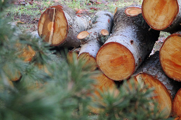 Les troncs coupés