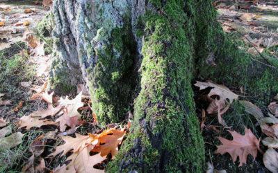 La mousse sur les arbres
